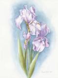 Dalmation-Irises